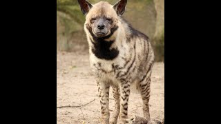 Endangered striped hyena cornered and brutally killed by Palestinians
