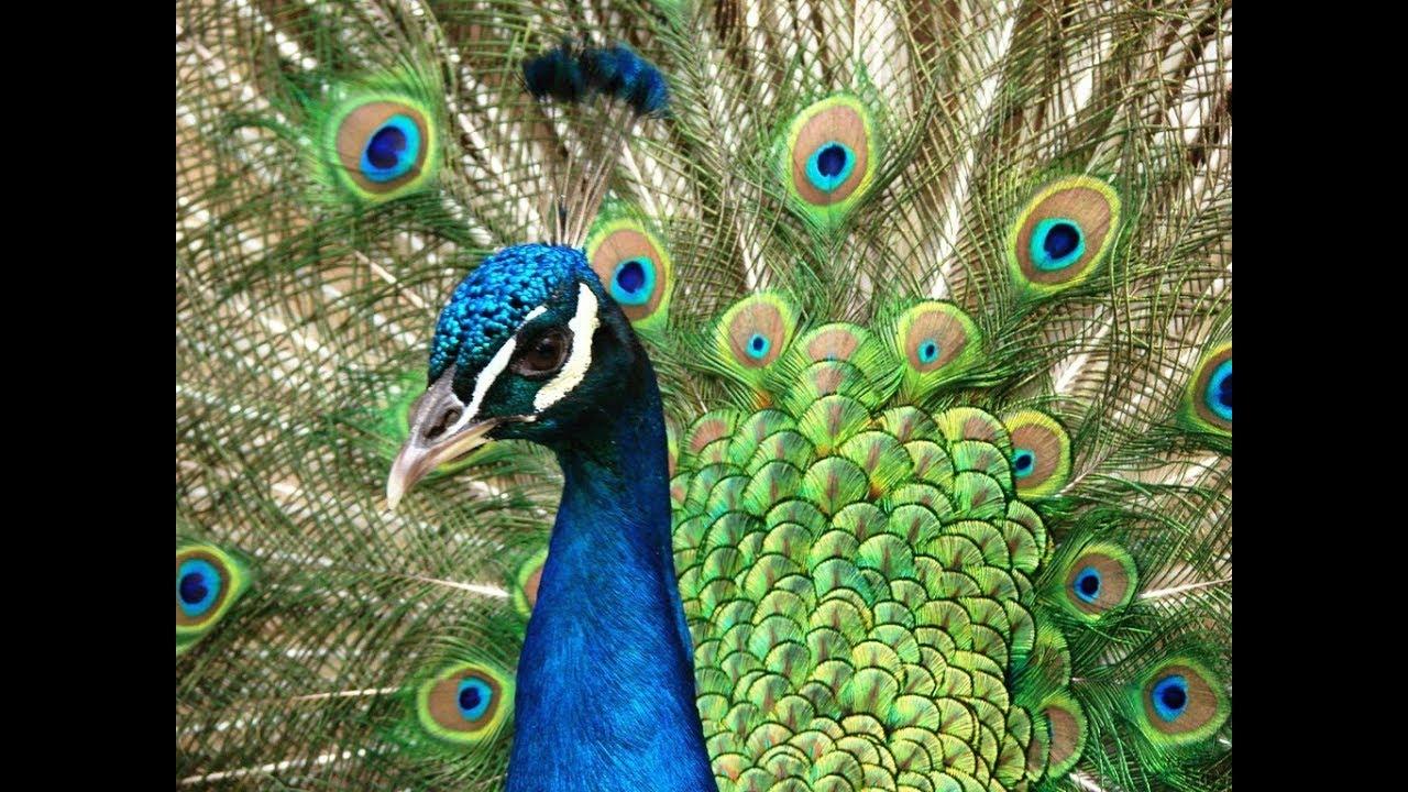 Мастер-класс Павлин из изолона - DIY Peacock