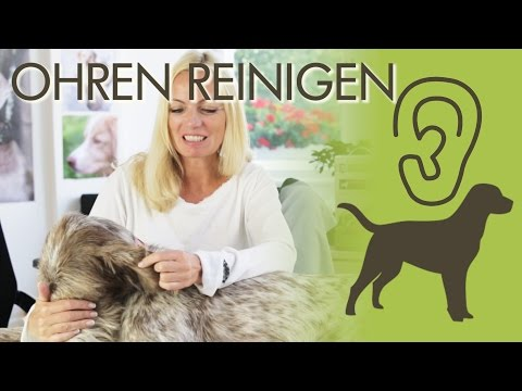 Ohrenreinigung beim Hund - die besten Tipps für Zuhause