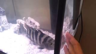 Agresivni moje ryba