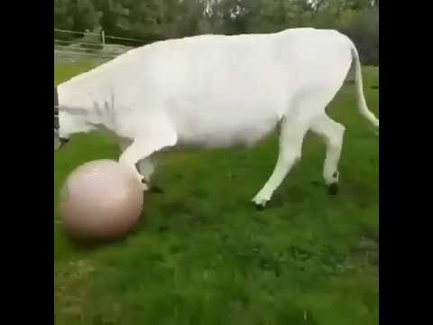 WTF? the cow decided that he was a dog? the cow plays the ball