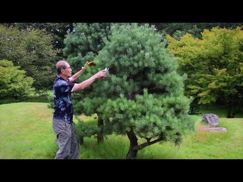 Pruning 'Niwaki' Japanese Garden Trees