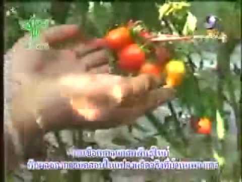 ใบกระวานจาก varices