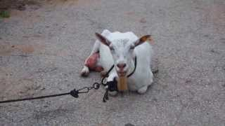 preview picture of video '2013-07 Milk this Goat'