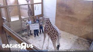 Internet Sensation 'April The Giraffe' Live Stream Ends