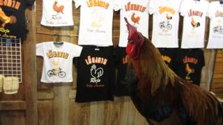 preview picture of video 'HUGE PET COCKEREL in Chiang Khan Walking Street , Loei Province'