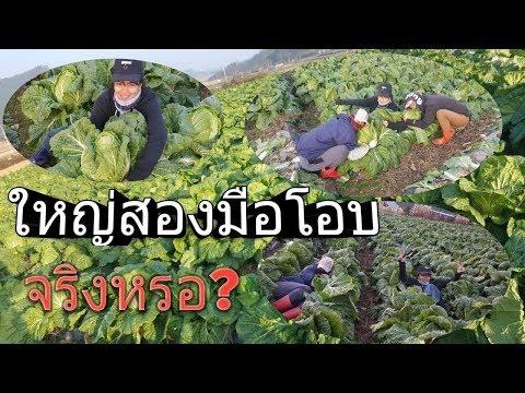 แรงงานไทยในเกาหลี  Ep.3 ปลูกกะหล่ำ
