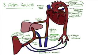 Understanding Fetal Circulation