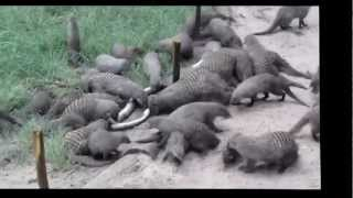 HECTIC ATTACK ON A PYTHON BY MONGOOSE!!!!!