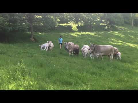 Vaques bruna del Pirineu pasturant a Ogassa
