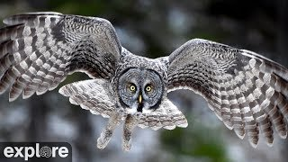 Great Gray Owls at Jim's Place powered by EXPLORE.org