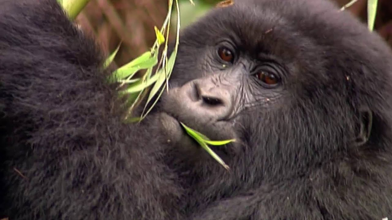 Uganda: Gorillas (2:17)