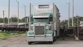 Loading cattle at Hollis Livestock Commission