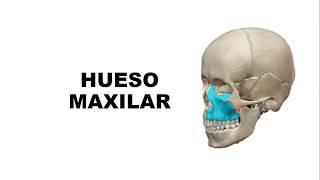 Hueso Maxilar - Anatomía