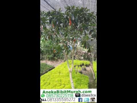 Video Jual Bunga Rombusa Putih Variegata 081335595272