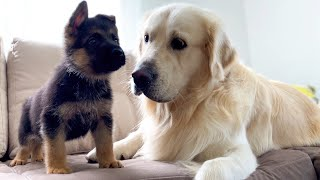 Golden Retriever Meets New German Shepherd Puppy For The First Time!