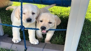 Labrador Puppies Funny Compilation #41 - Best of 2018