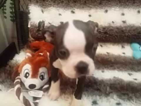 CHECK OUT THIS BOSTON PUPPY!