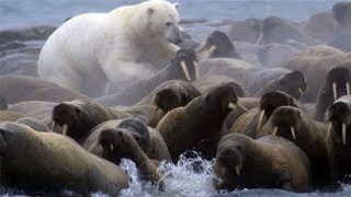 Polar Bear vs Walrus colony | BBC Planet Earth | BBC Studios