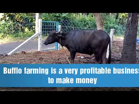 Buffalo farming in Kerala