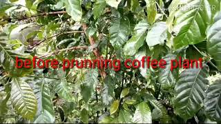 How to care for your coffee plant by pruning