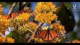 Factor Ciencia - El regreso de la monarca