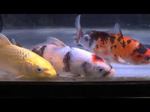 錦鯉 昭和丹頂  飼育環境