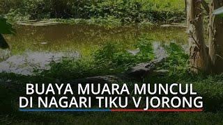 Buaya Muara Menepi dari Aliran Sungai di Tanjung Mutiara Kabupaten Agam, Era: Tidak Takut Lagi