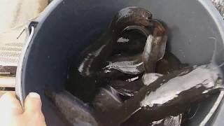Выращивание клариевого сома в садках. Прирост за 10 дней 120 гр
