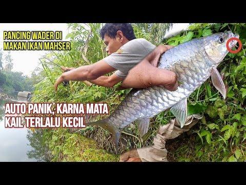 Anak ini Panik saat Pancing Wader nya Dimakan Ikan Mahseer Besar / Semah