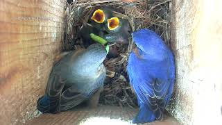 Bluebirds Feeding Chicks--Five Minutes In The Life Of A Bluebird Family  4-25-19