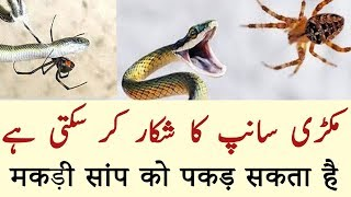 Makdi ki malumaat in Urdu/Hindi | Spiders facts in urdu/Hindi