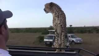 Супер Приколы на сафари гепард и туристы Все в шоке