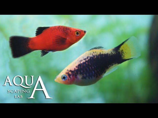 Aquascaping Lab - Platy fish, Xiphophorus Maculatus technical sheet / scheda tecnica pesce