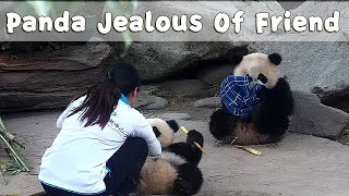 Little Panda Jealous Of Friend Receiving More Attention From Nanny! | iPanda