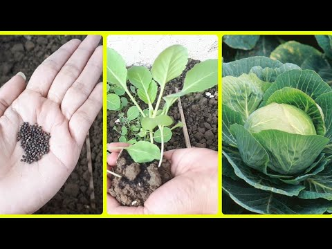 , title : 'How to grow cabbage at home (Full update). Cabbage plant. Seedling-plant complete guide.Glam hub.