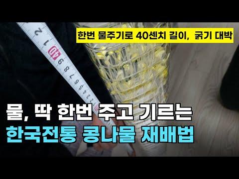 101. 물 딱 한번 주고 굵고, 40센치 까지 기르는 한국전통 콩나물 재배방법입니다