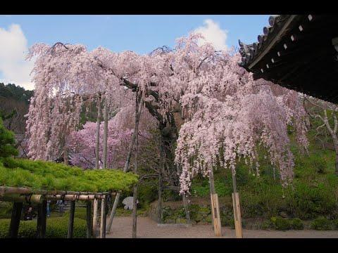 JG☆☆☆☆8K HDR 京都の桜 八十八か所巡礼 Kyoto, Sakura 88, Spiritual and Cultural Pilgrimage of Historic Sites