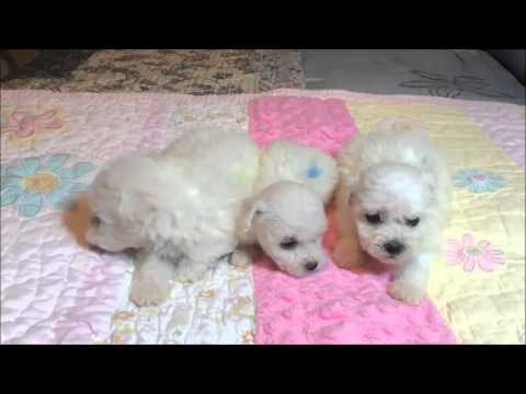 Bichon Frise male puppy available for sale