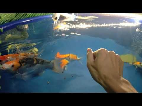 Hồ cá Koi ngày 22-01-2021 | btkoi.com