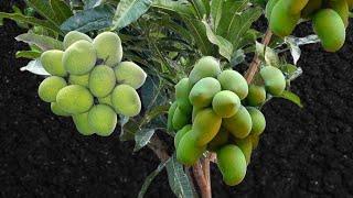 Multi Grafting On Mango Tree (making Bonsai)