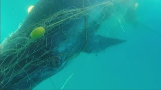 Moment rescuers free baby whale trapped in shark nets off Australia