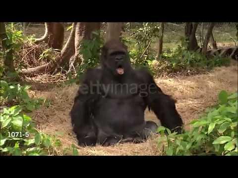 Gorilla tahtoo musiikkia