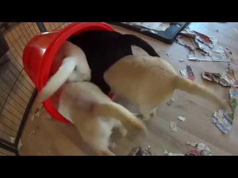 Mayfieldgarden #517 Was ist denn da drin? Die Labradorwelpen in der Futtertonne
