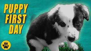 Bringing Border Collie Puppy Home