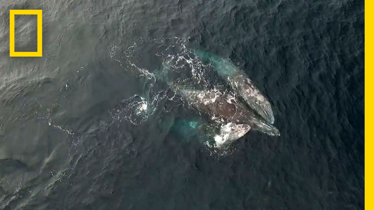 Rare Video: Whales Engage in Three-Way Mating Ritual | National Geographic thumbnail