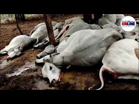 Blikseminslagen doden 27 runderen in Sri Lanka en 34 in India