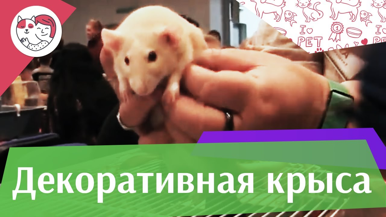 Декоративные крысы Выбор клетки на ilikepet