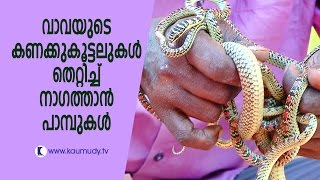 Wow ! Golden tree snakes upset Vava's calculations | Snake Master | Kaumudy TV