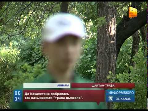 Наркотический шалфей добрался и до Казахстана